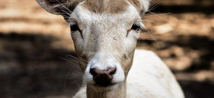 roe-deer-1671087_1280