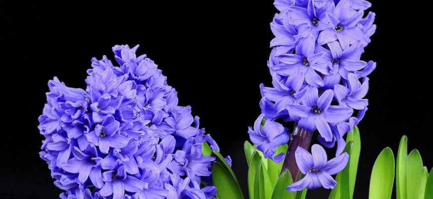 hyacinth-2202861_1280